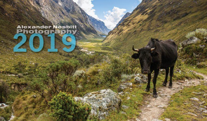 image ©Alexander Nesbitt, Cow along the trail