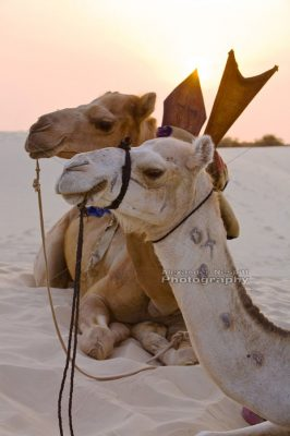 Camels Rest 1