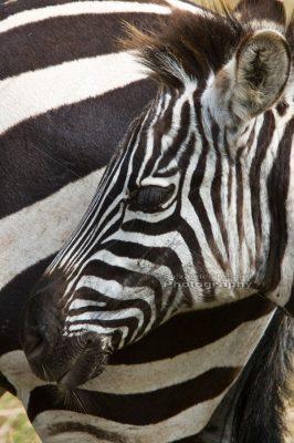 Baby Zebra 1