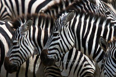 Zebras in Ngorongoro park, Tanzania 1