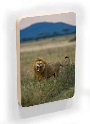 Lion in the Serengeti - photoblock 1