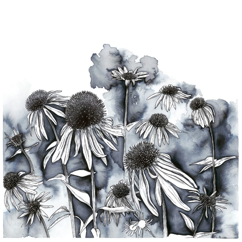 echinacea_beth bell