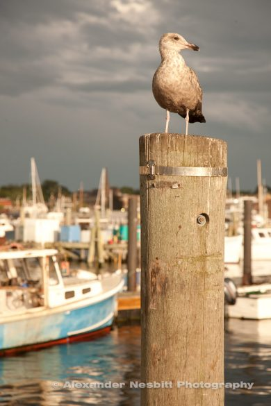 Gull on a piling in Newport harbor - photo block